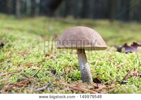 The brown-cap mushroom grow in the green moss wood leccinum growing in the sun rays close-up photo