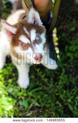 The photo shows a dog with different eyes - Husky