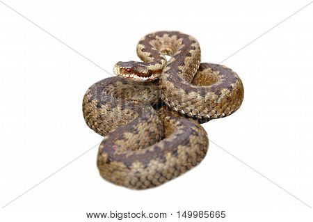 european common crossed viper isolated on white background ( Vipera berus female )