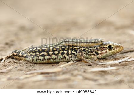 close up of juvenile balkan wall lizard ( Podarcis tauricus )