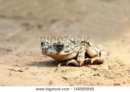 juvenile european green toad ( Bufo viridis )