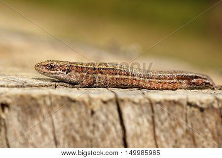 closeup of viviparous lizard basking on wood stump ( Zootoca vivipara )
