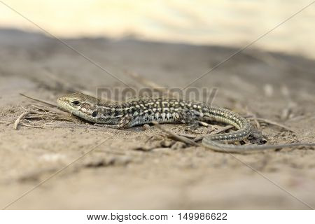 balkan wall lizard standing on ground full length ( Podarcis tauricus )