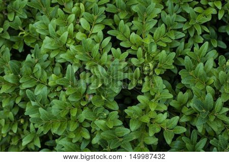 Part of the branches of green boxwood bush.