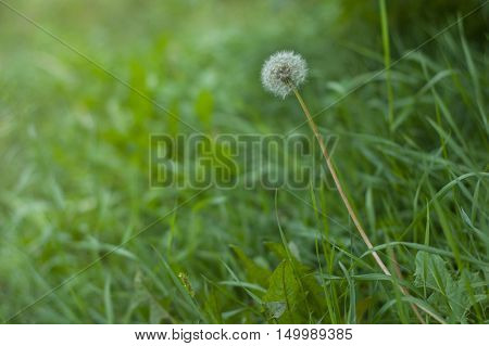 dandelion on a background of green grass in front of sunset