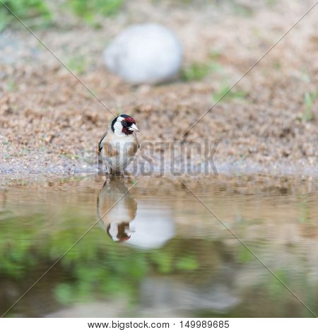 bathing male European goldfinch in nature water