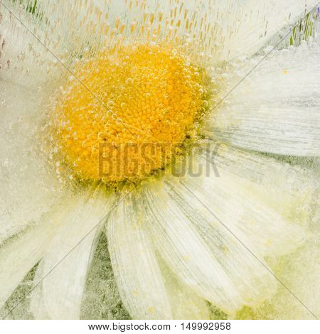 beautiful icy abstraction of a delicate flower daisy with a yellow center frozen in clear water with air bubbles