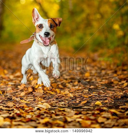 Running dog at autumn. Jumping fun and happy pet walking outdoors.