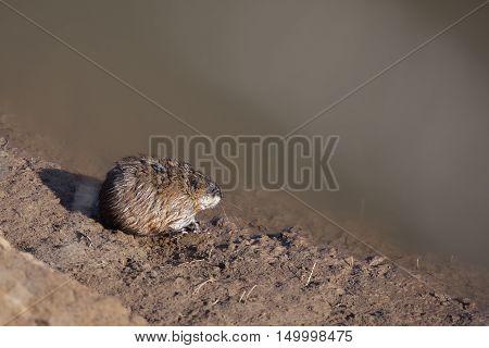 Mouse-vole