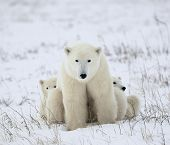 stock photo of polar bears  - The polar she - JPG