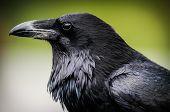 Common Raven (corvus Corax) poster