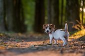 jack russel puppy on autumn alley poster