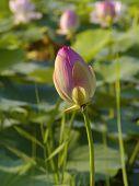 stock photo of hydrophytes  - Wild pink lotus  - JPG