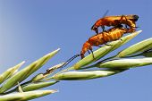 stock photo of copulation  - Copulating of rhagonicha beetle on stem on the blue sky background - JPG