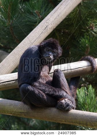 Especies en peligro de Sumatra Kloss Gibbon