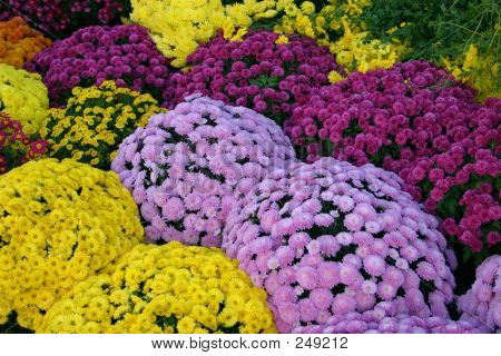 Chrysanthemum Color