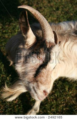 Obstinate Goat