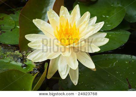Flor de lótus amarela