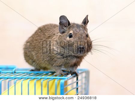 Degu Sits On A Cage