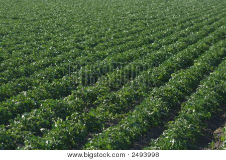 Crops 5