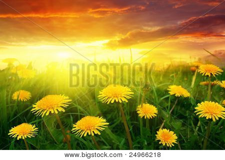 Field of dandelions at sunset.