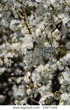 Hawthorne flowers, Hastings