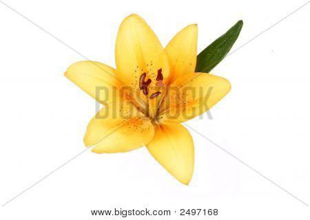 Orange Lilly Flower On White Background