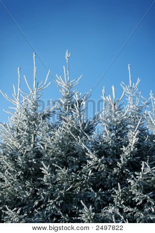 Frosty Fir Trees