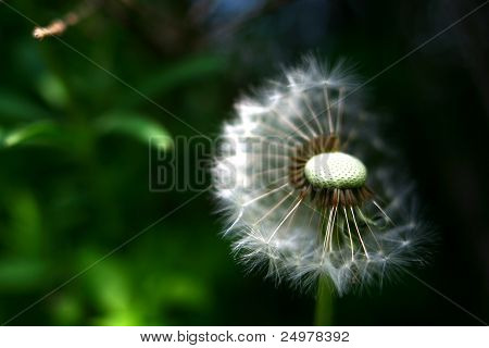 White dandelion flower half hidden in shadow with visible seeds