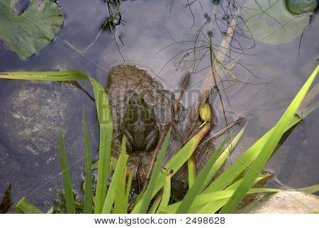 Acadia National Park Frog