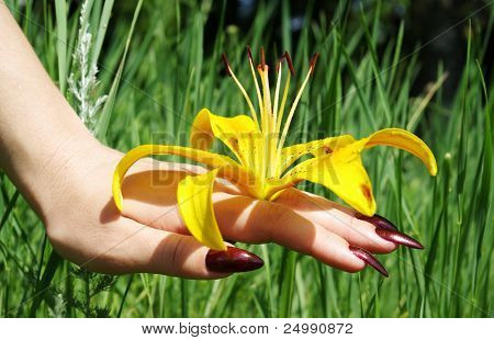 The female hand with manicure holds a yellow lily on a background of a green grass