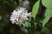 Fuzzy Deutzia White Flowers - Latin Name - Deutzia Scabra Var. Sieboldiana poster