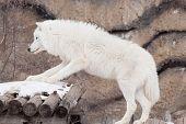 Wild Alaskan Tundra Wolf. Canis Lupus Arctos. Polar Wolf Or White Wolf. Animals In Wildife. poster