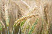 Wheat Field. Golden Ears Of Wheat On The Field. Background Of Ripening Ears Of Meadow Wheat Field. R poster