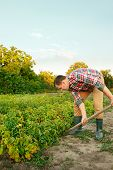 Farming, Gardening, Agriculture And People Concept - Young Man Planting Potatoes At Garden Or Farm.  poster
