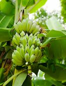 This Banana Bunch Is Almost Ripe. It Is A Very Nice Bunch, No Scratch, No Mark. There Also Are Green poster