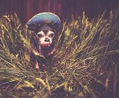 cute chihuahua in tall grass wearing a blue sombrero licking his face toned with a retro vintage ins poster