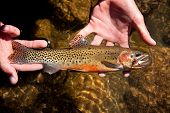 pic of fly rod  - Photo of a Westslope cutthroat trout - JPG