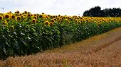 Wheat Field In The Front Of Sunflower Field With Bright Blurry Sky, Blossoming Sunflower Field In Ju poster