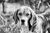 Hunting And Detection Dog. Dog With Long Ears On Summer Outdoor. Beagle Walk On Fresh Air. Cute Pet  poster