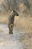 Lone Hyena Walking Along A Dirt Road Scavenging For Food poster