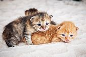 Portrait Of One Month Old Little Cute Kittens, Tabby And Ginger poster