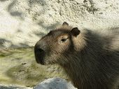 Capybara The Biggest Rodent That Exists In The World Here In A Zoo That Reproduces Its Natural Habit poster
