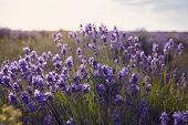 Close Up Shot Of Beautiful Purple Buds Of Lavender Blooming Under Gentle Sun On Farmland. Lilac Lave poster