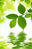 Постер, плакат: Зеленые листья и вода отражение