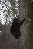 Black Bear (ursus Americanus) Climbs On Tree - Captive Animal poster