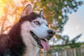 Close-up Portrait Of Siberian Husky Looking Ahead, Viewed From Below. Copy Space. poster
