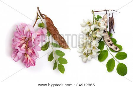 Set from a black locust  (Robinia pseudoacacia) and  bristly locust (Robinia hispida) flowers, leaves and seeds