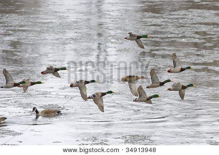 Mallard Court Ship Flock