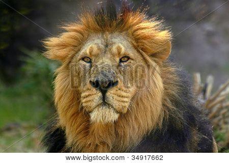 Portrait Of A Male Lion (panthera Leo)